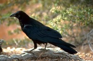 negro, cuervo, pájaro