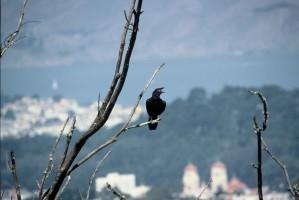 commun, corbeau, corbeau nord, oiseau, corvus, corax