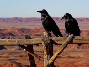 corneilles, corbeaux, oiseaux, noir