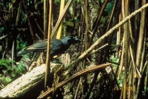 hawaiano, cuervo, pájaro