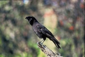havajski, vrana, crne, ptica