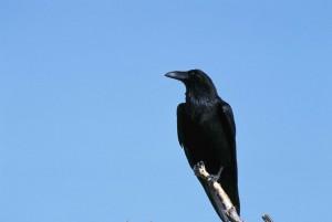 Raven, fugl, corvus corax