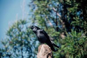 Raven, pták, divoký, corvus corax