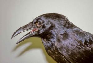 raven, corvus, corax