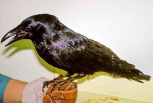 raven, hand