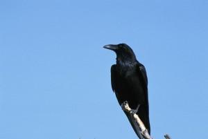 cuervo, sentarse, rama
