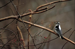rear, woodpecker, bird, sitting, tree, branch