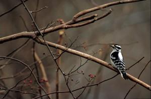 arrière, pivert, oiseau, séance, arbre, branche