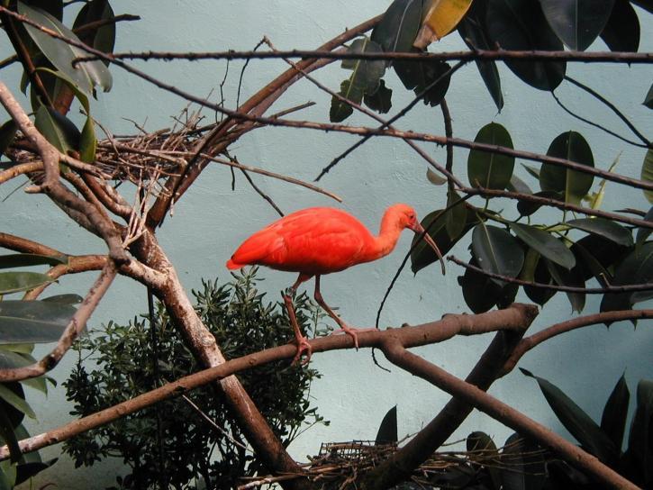rouge, grand, oiseau