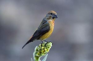 rouge, crossbill, oiseau, de près, loxia curvirostra