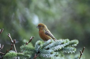 red, crossbill, bird, tree, loxia curvirostra