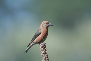 red, crossbill, bird, loxia curvirostra