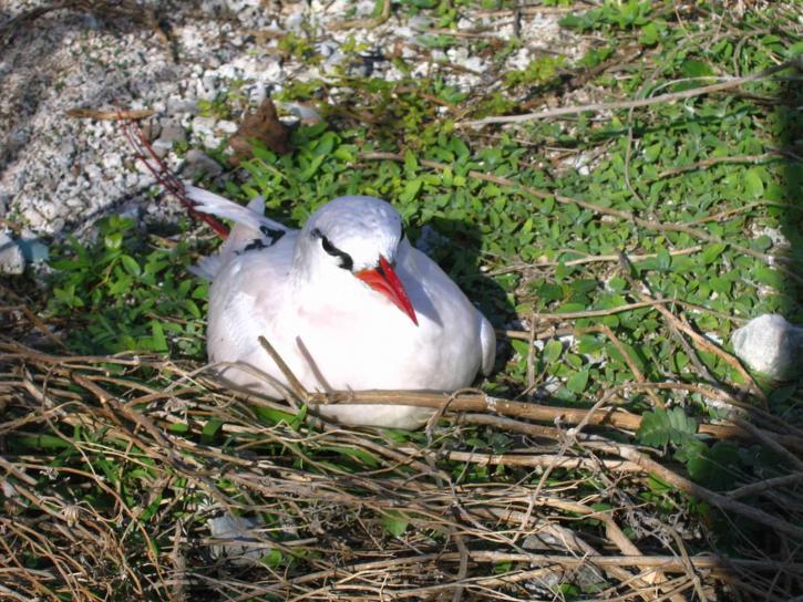 red, tailed, tropic, bird, nesting, bird, ground