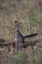 Ptica Trkačica, ptica, geococcyx
