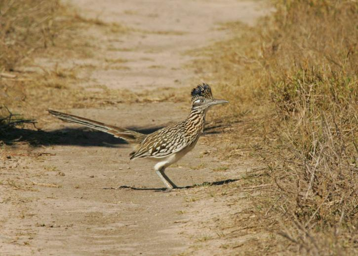 Ptica Trkačica, ptica, stoji, geococcyx californianus