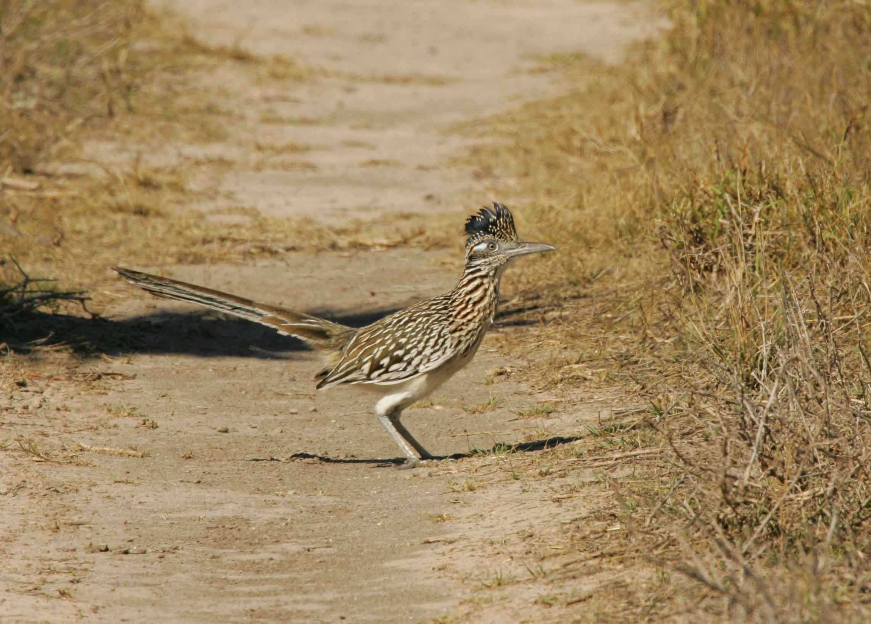 Free Picture Roadrunner Bird Standing Geococcyx