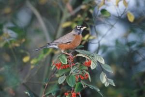 American, robin, bird