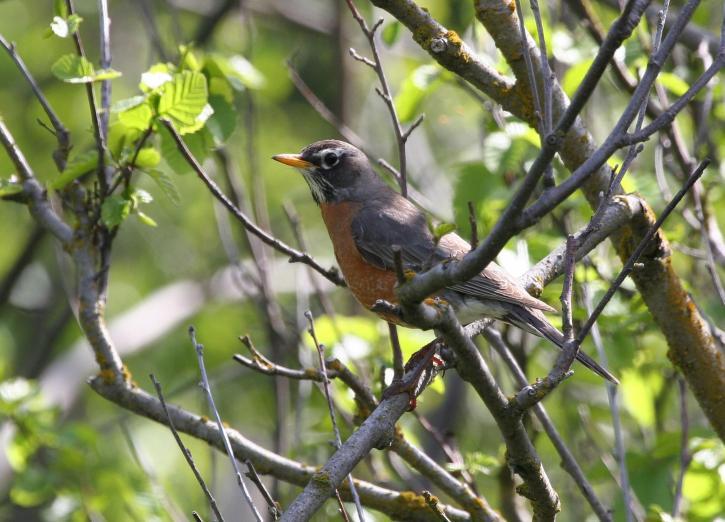 American, robin, bird, turdus, migratorius