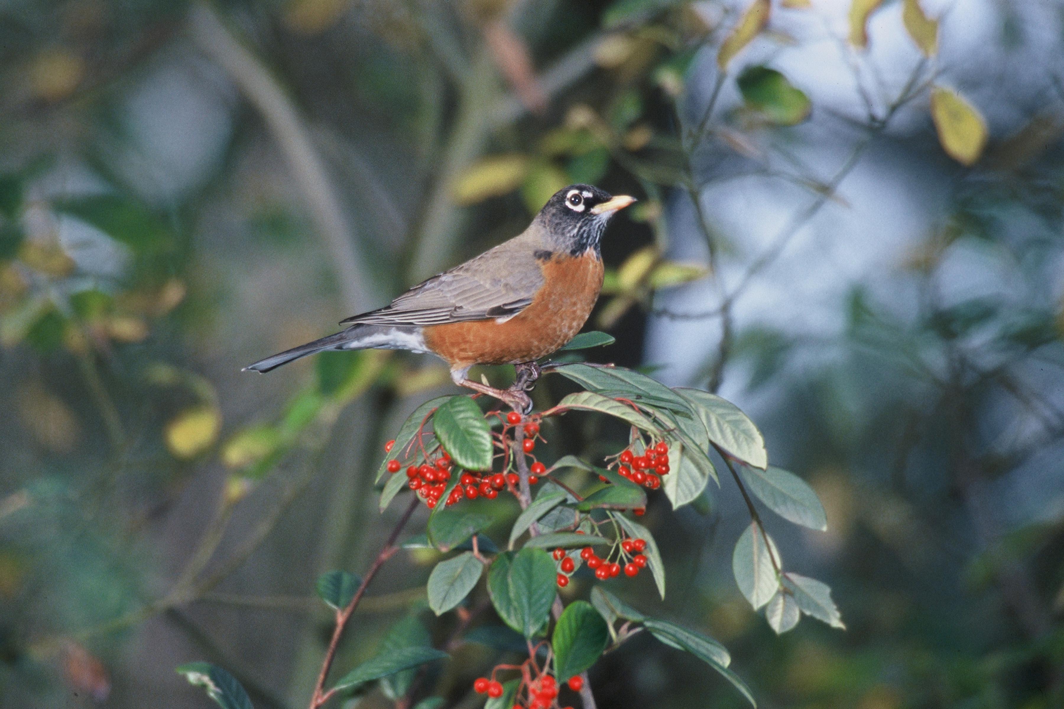Free picture: American, robin, bird