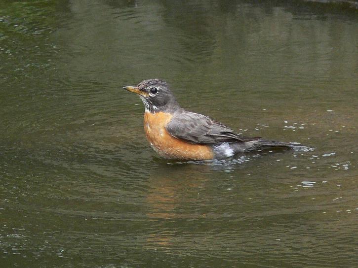 amertican, robin, water, bird, turdus, migratorius