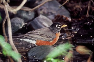 up-close, Amerivan, robin, bird