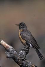 Oiseaux de Robin