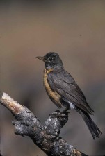 American, robin, turdus, migratorius, migratory, songbird