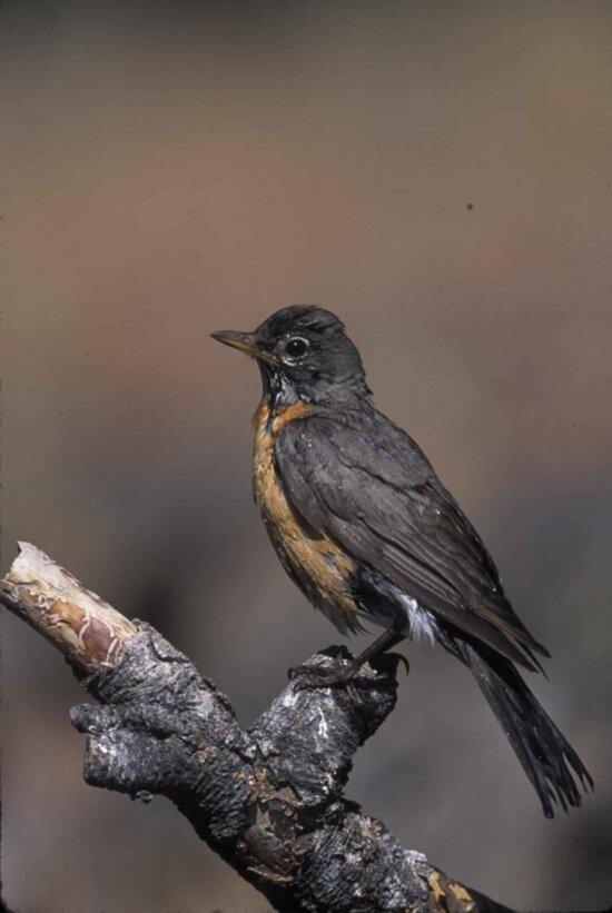 Robin vogels