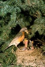 robin, bird, chicks, nest