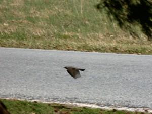 robin, flying