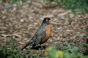turdus, migratorius, American, robin
