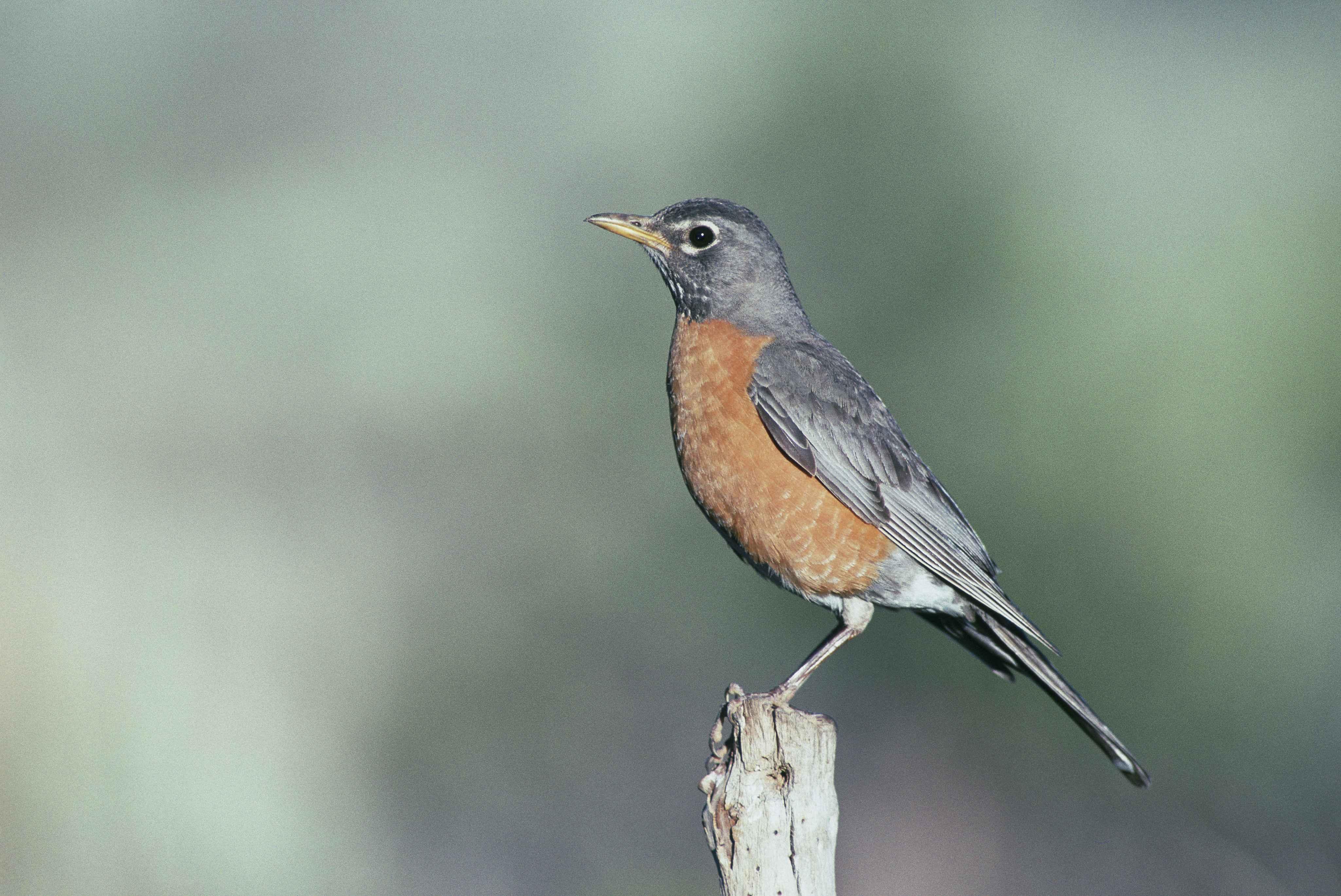 Free Picture: Turdus Migratorius, Robin, American, Bird