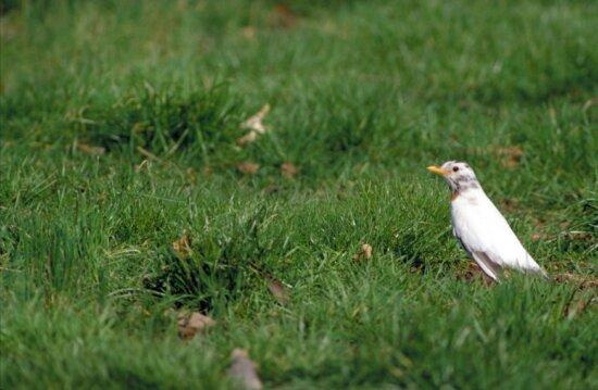 white, American, robin, bird, turdus migratorius, grass, white, red, chest, mottling, head
