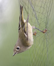 ruby, crowned, kinglet, mist, net
