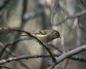 ruby, crowned, kinglet, tree, branch