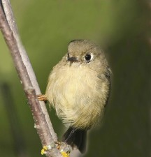 ruby, crowned, kinglet, regulus calendula