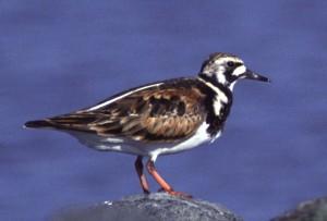 ruddy, turnstone, bird, arenaria interpres