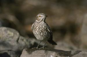 sage, thraster, bird, oreoscoptes montanus