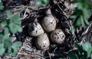 Bairds, bécasseau, nid, oeufs