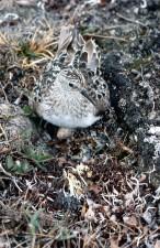 Calidris, bairdii, bécasseau, oiseau, nid, de près, la tête
