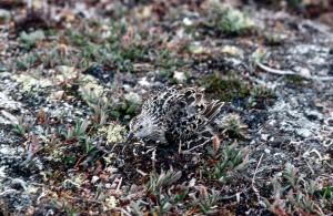 Calidris, bairdii, bécasseau, camoouflaged