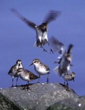 Calidris, minutilla, bécasseau, oiseaux