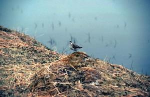 Calidris, ptilocnemis, bờ biển, chim