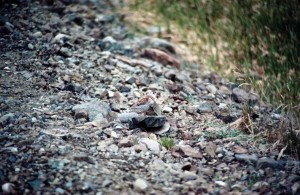 Calidris, ptilocnemis, rock, sandpiper, chim, đá, bờ biển