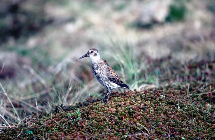 up-close, rock, sandpiper, bird, calidris, ptilocnemis