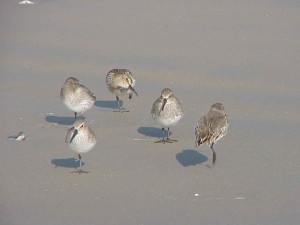 dunlin, bords, sand, calidris alpina