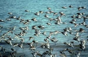 troupeau, rocher, bécasseau, oiseaux, vol, Calidris, ptilocnemis
