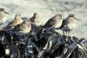 troupeau, rocheux, bécasseau, oiseaux, Calidris, ptilocnemis