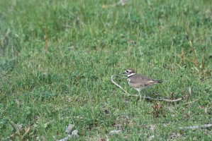 killdeer, 鳥, charadrius vociferus