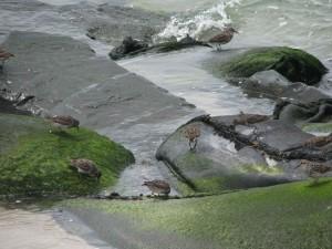 紫、シギ、鳥、座って、岩
